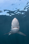 Blue Shark, Prionace glauca, Rhode Island, New England, USA, North Atlantic Ocean.
