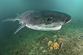 Broadnose Sevengill Shark, Notorynchus cepedianus. Aka cowshark. False Bay, Western Cape, South Africa.