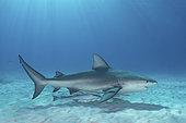 Bull Shark, Carcharhinus leucas. Aka Zambezi Shark or Lake Nicaragua Shark. Bimini Island, Bahamas, Caribbean Sea.