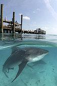 Bull Shark, Carcharhinus leucas. Aka Zambezi Shark or Lake Nicaragua Shark. Over/under split shot from Big Game Club Marina on North Bimini Island, Bahamas, Caribbean Sea.