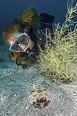 Bullseye Electric Ray, Diplobatis ommata. Aka Pacific Dwarf Numbfish. Sea of Cortez, Mexico, Eastern Tropical Pacific.