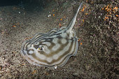 Bullseye stingray or Reef stingray, Urobatis concentricus, Cabo Pulmo, Baja, Mexico, Sea of Cortez.