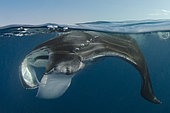 Caribbean Manta Ray, Manta c.f. birostris, a subspecies of the oceanic manta M.birostris from the Caribbean.