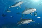 Caribbean Reef Sharks, Carcharhinus perezi, at Fish Tales near Tiger Beach, Grand Bahama Bank, Caribbean Sea, Atlantic Ocean.