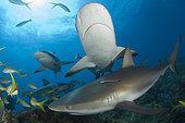 Caribbean Reef Shark, Carcharhinus perezi, Bahamas, Caribbean Sea.