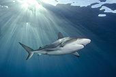 Caribbean Reef Shark, Carcharhinus perezi, Triangle Rocks, Bimini Island, Bahamas, Caribbean Sea.