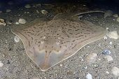 Clearnose Skate, Raja eglanteria, a common skate species of the Eastern Atlantic ranging from New England to Florida.