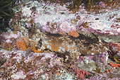 Cobbler wobbegong, Sutorectus tentaculatus, camouflaged under a ledge in Bremer Bay, Western Australia, Southern Ocean.