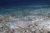 Cortez Electric Ray, Narcine entemedor. Aka Giant Electric Ray. San Benedicto Island, Socorro, Revillagigedo Archipelago, Eastern Pacific.