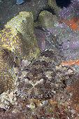 Dwarf Ornate Wobbegong Shark (Orectolobus ornatus). A.k.a. Ornate Wobbegong or Banded Wobbegong. Fish Rock, South West Rocks, New South Wales, Australia.
