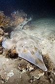 Eastern Shovelnose Ray (Aptychotrema rostrata) a.k.a. Long snouted shovelnose ray or shovelnose shark. Nelson Bay, New South Wales, Australia.