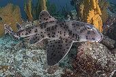 Galapagos bullhead shark, Heterodontus quoyi, aka Galapagos horn shark. Eastern Pacific. Confined to the Galapagos Islands and coastal Peru.