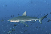 Galapagos Shark, Carcharhinus galapagensis. Socorro Island, Revillagigedo Archipelago, Mexico, Eastern Pacific.