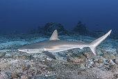 Juvenile Galapagos Shark, Carcharhinus galapagensis. Socorro Island, Revillagigedo Archipelago, Mexico, Eastern Pacific.