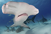 Great Hammerhead Shark, Sphyrna mokarran. The largest species of hammerhead shark attaining lengths of upto 6m. South Bimini Island, Bahamas, Caribbean Sea.