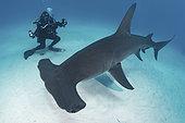 Great Hammerhead Shark - Sphyrna mokarran - with diver near South Bimini Island, Bahamas, Caribbean Sea.