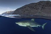 Great White Shark, Carcharodon carcharias. Aka white pointer, white shark, white death, blue pointer, landlord or mackeral shark. Over under or split frame image at Guadalupe Island, Mexico, Eastern Pacific.
