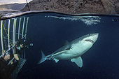 Great White Shark - Carcharodon carcharias - next to a shark cage with hookah divers. Aka white pointer, white shark, white death, blue pointer, landlord or mackeral shark. Over under or split frame image at Guadalupe Island, Mexico, Eastern Pacific.