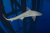 Gulf Smoothhound Shark, Mustelus sinusmexicanus, swimming under an oil rig in the northern Gulf of Mexico, Louisiana, USA.