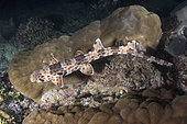 Indonesian Speckled Carpetshark, Hemiscyllium freycineti. Aka Raja Ampat epaulette shark or walking shark. A species of bamboo shark confined to the Raja Ampat region of West Papua, Indonesia.