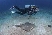 Japanese Angelshark - Squatina japonica - with diver. Aka Japanese Angel Shark. Hatsushima Island, Izu Peninsula, Honshu, Sea of Japan.