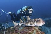 Japanese Bullhead Shark - Heterodontus japonicus - with diver. Aka Japanese horn shark. Heterodontidae. Hatsushima Island, Izu Peninsula, Sea of Japan.