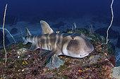 Japanese Bullhead Shark, Heterodontus japonicus. Aka Japanese horn shark. Heterodontidae. Hatsushima Island, Izu Peninsula, Sea of Japan.