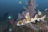 Japanese Bullhead Shark, Heterodontus japonicus. Aka Japanese horn shark. Heterodontidae. Tateyama, Chiba, Honshu, Sea of Japan.