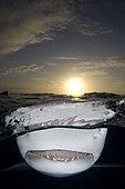 Lemon shark, Negaprion brevirostris, Northern Bahamas, Atlantic Ocean.