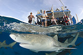 Lemon Sharks, Negaprion brevirostris, at Fish Tales near Tiger Beach, Grand Bahama Bank, Caribbean Sea, Atlantic Ocean.