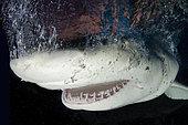 Requin citron (Negaprion brevirostris), portrait, Fish Tales près de Tiger Beach, Grand Banc des Bahama, mer des Caraïbes, océan Atlantique.