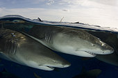 Lemon Shark, Negaprion brevirostris, Tiger Beach, Grand Bahama Bank, Caribbean Sea, Atlantic Ocean.