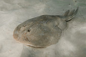 Lesser electric ray, narcine bancroftii, aka Bancrofts electric ray. Previously confused with the Brazilian electric ray Narcine brasiliensis. Panama City, Florida, USA, Gulf of Mexico.
