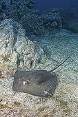 Longtail Stingray, Hypanus longus. Previously Dasyatis longa. Socorro Island, Mexico, Eastern Pacific.