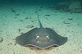 Longtail Stingray, dasyatis longus, Isla Iguana, Panama, Eastern Pacific Ocean.