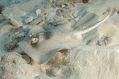 Masked stingaree, Trygonoptera personata, Rottnest Island, Western Australia, Indian Ocean.