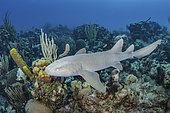 Nurse Shark, Ginglymostoma cirratum. Aka common nurse shark, Chinchorro Atoll, Mexico, Caribbean Sea.