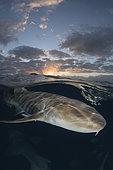Nurse Shark, Ginglymostoma cirratum. Aka common nurse shark. Over under split shot at sunset near South Bimini Island, Bahamas, Caribbean Sea.