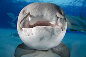 Nurse Shark, Ginglymostoma cirratum, Fish Tales, Grand Bahama Bank, Bahamas, Caribbean Sea.