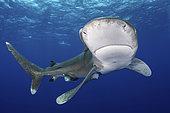 Oceanic Whitetip Shark, Carcharhinus longimanis. A circumtropical ocean wanderer. Cat Island, Bahamas.