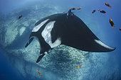 Oceanic Manta Ray, Manta birsotris at the Boiler, San Benedicto Island, Socorro, Revillagigedo Archipelago, Eastern Pacific Ocean