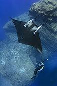 Oceanic Manta Ray, Manta birostris at the Boiler, San Benedicto Island, Socorro, Revillagigedo Archipelago, Eastern Pacific Ocean
