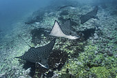 Pacific Eagle Ray, Aetobatus laticeps. A recently described species from the Eastern Pacific. Previously thought to be synonymous with Aetobatus narinari. Malpelo Island, Colombia.