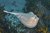 Sepia Stingray, Urolophus aurantiacus. Aka Oriental stingray or stingaree. The only Urolophid ray from the northern hemisphere. Present in parts of Japan, Korea and Taiwan.