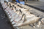 Shark carcasses ready for auction at Deira fish market in Dubai, UAE. Mostly blacktip sharks (Carcharhinus limbatus) and spottail sharks (Carcharhinus sorrah).
