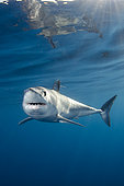 Shortfin Mako Shark, Isurus oxyrhynchus, Long Beach, Southern California, Eastern Pacific.