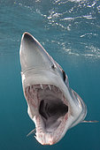 Shortfin Mako Shark, Isurus oxyrinchus, San Diego, California, USA, Eastern Pacific.
