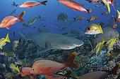 Sicklefin Lemon Shark, Negaprion acutidens. Aka sharptooth lemon shark or Indo-Pacific Lemon Shark. White Valley, Tahiti, Society Islands, French Polynesia.