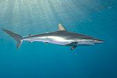 Silky Shark (Carcharhinus falciformis). Galveston, Texas, Gulf of Mexico.