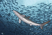 Silky Shark, Carcharhinus falciformis. A requiem shark associated with offshore reefs and blue water. Circumtropical. Socorro Island, Mexico, Eastern Pacific.